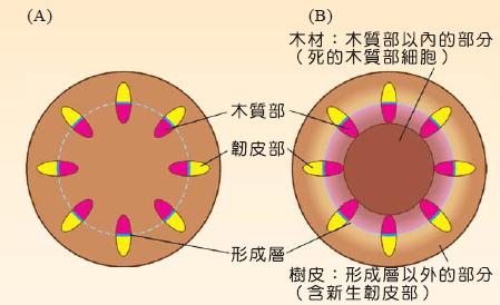 年轮可用於估算树木的年龄,当树木逐年生长,死去的木质部会形成木材.